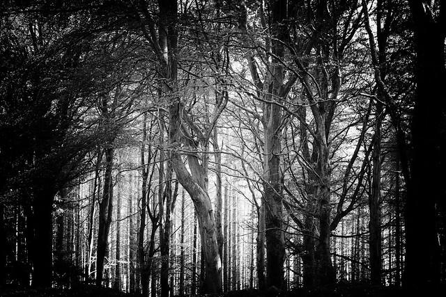 Mystery, trees, light. Fine art black & white. Kirkhill Forest, near Aberdeen, Scotland.