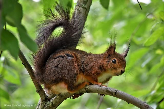 Écureuil roux (Sciurus vulgaris) (349)