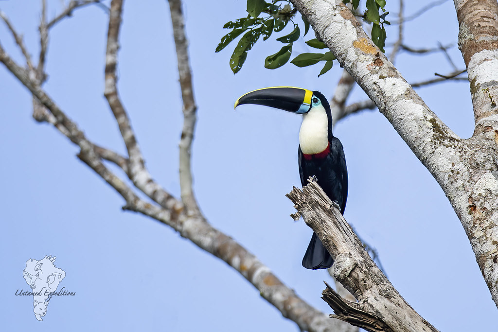 White-throated Toucan