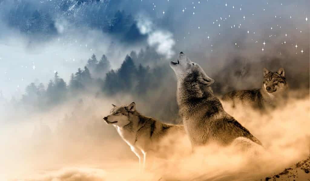 Le hurlement des loups ressemble à nos sirènes