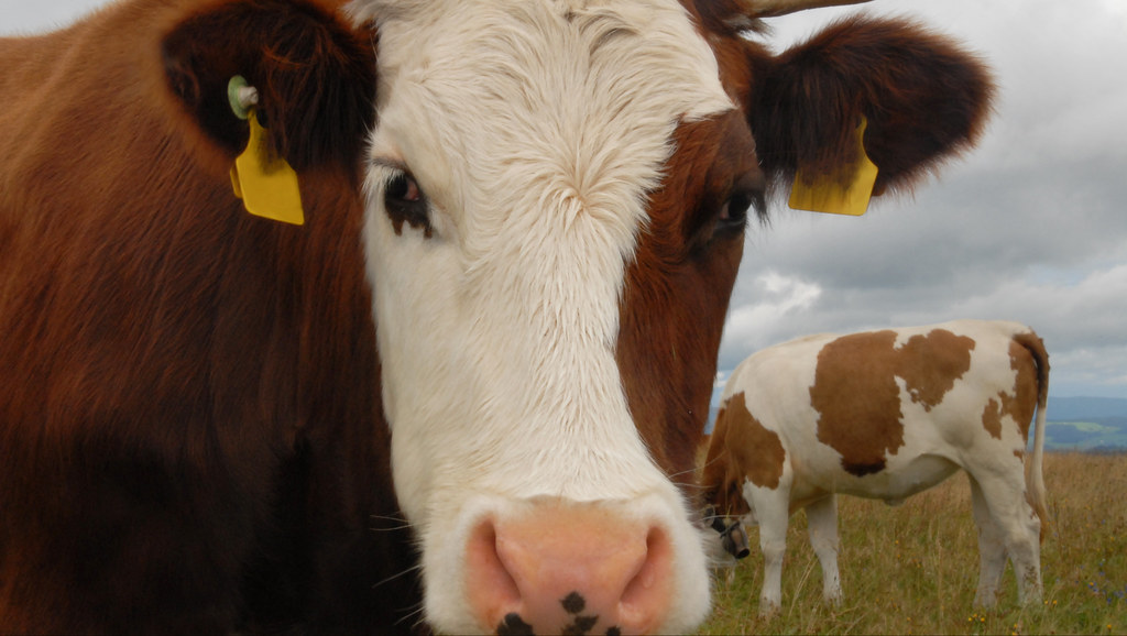 Image of cows in field.