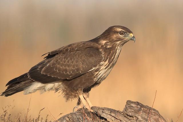 Águia-de-asa-redonda, Common buzzard, (Buteo buteo)