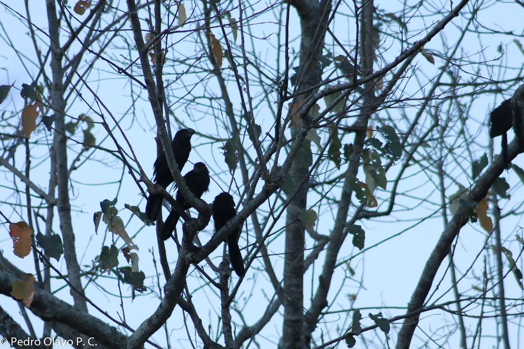Três Pássaros