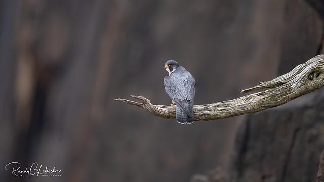 Peregrine Falcon - Falco peregrinus | 2020 - 17