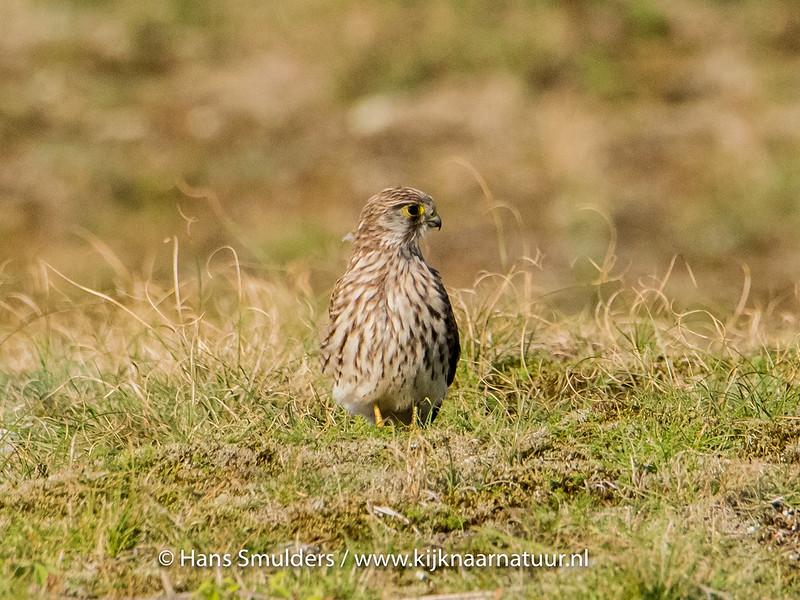 Smelleken (Falco columbarius)-820_5322