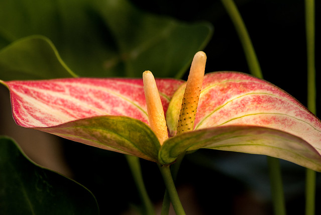Two Pink Anthurium 3-0 F LR 8-30-20 J049
