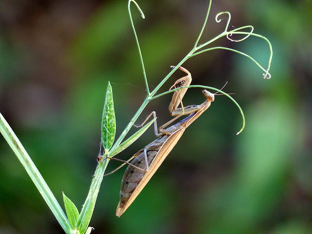 European Mantis - Gottesanbeterin