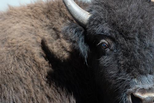 2020 North Rim Bison Corral-Day1_Bison Portrait