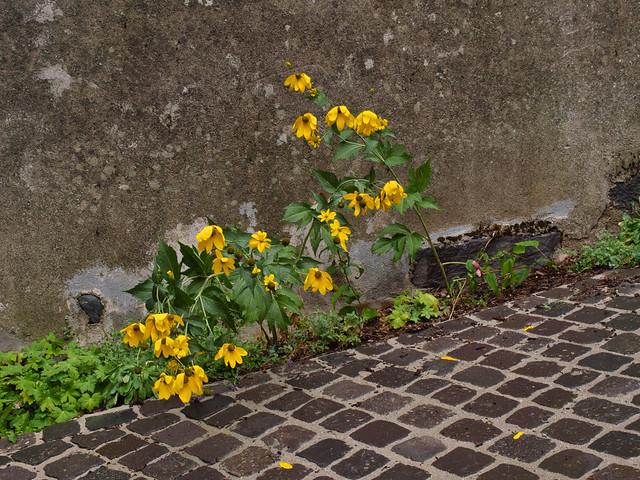 Déshydratées les fleurs,  les couleurs ne vibrent plus