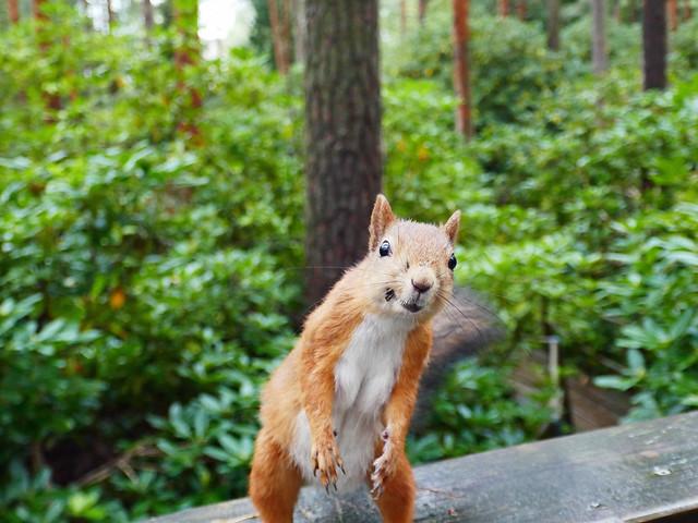 Curious squirrel in Haaga Alpine Rose Park (Rhododendron), Helsinki