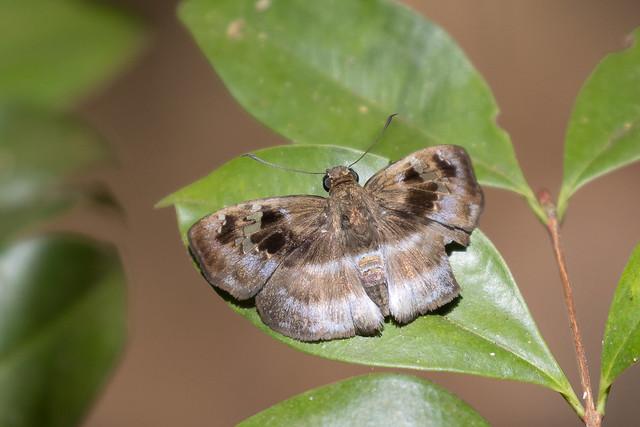 Common Blue-skipper (Quadrus cerialis)