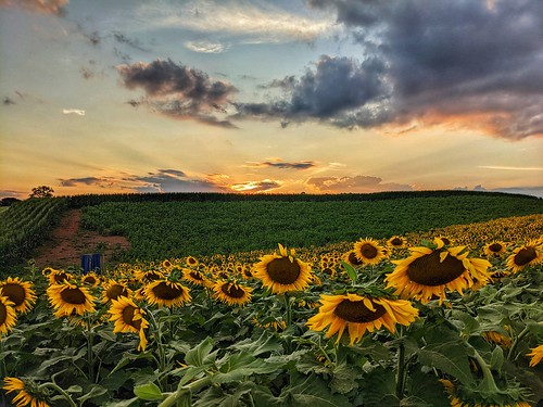sunset sunflower virginia pixel 4a