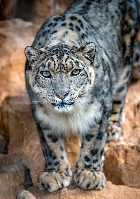 Shy Snow Leopard comes out...