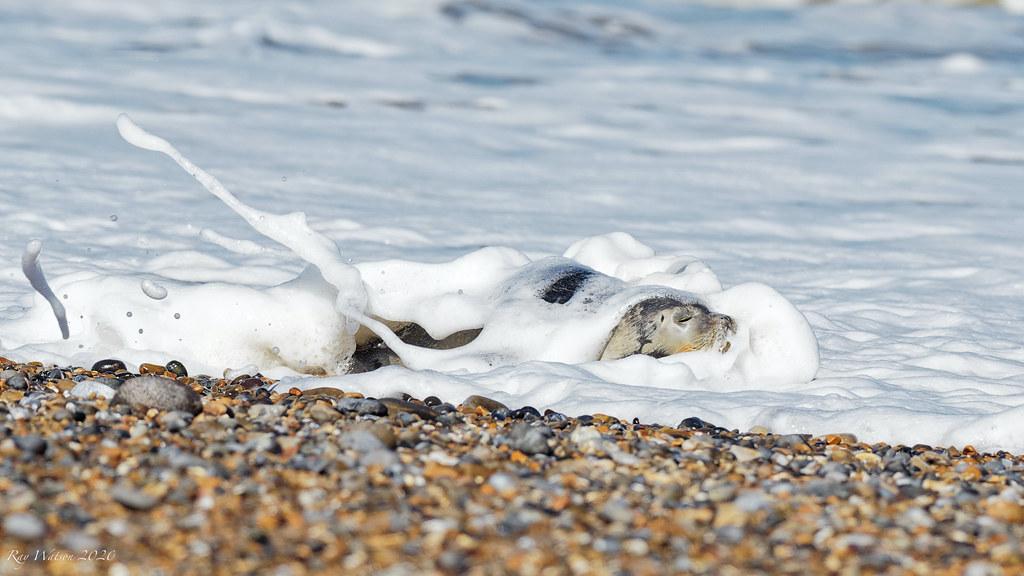 Common Seal pup having a foam bath