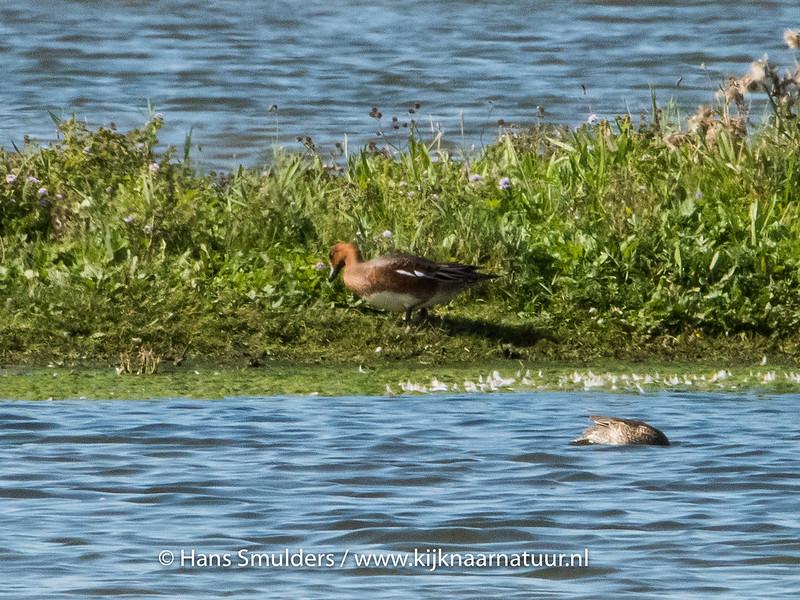 Rosse fluiteend (Dendrocygna bicolor)-820_5339