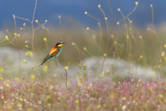 Bee eater in a colorful environment