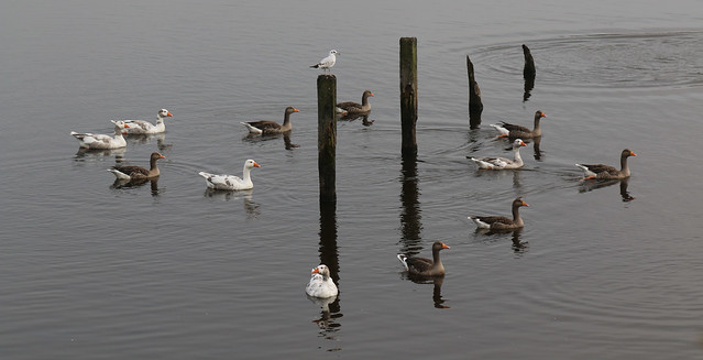 16th September 2020. Twelve Geese a Floating. The Manchester Ship Canal at Runcorn, Cheshire