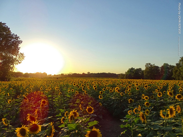 Sunflowers at Grinter Farms, 4 Sept 2020