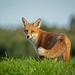 Fox posing nicely