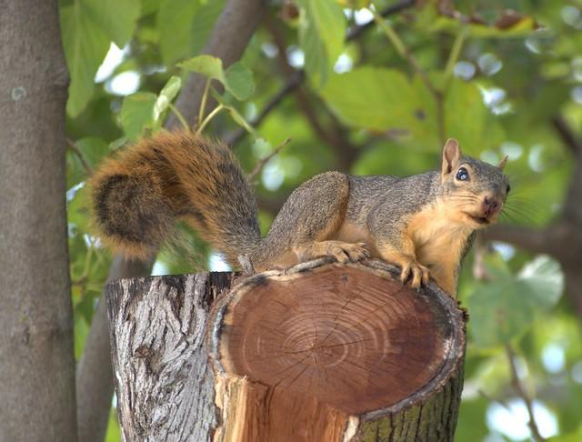 Orange squirrel barking furrociously
