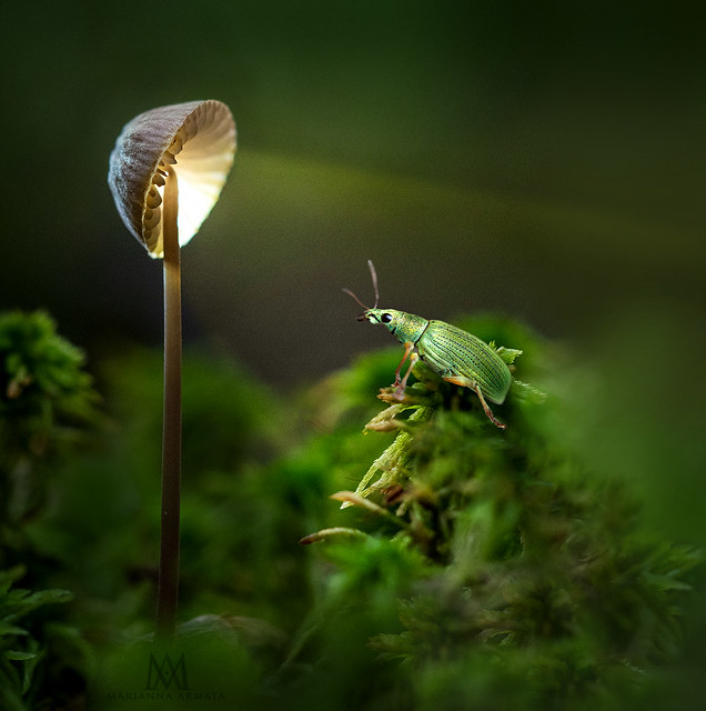 weivil's lamp