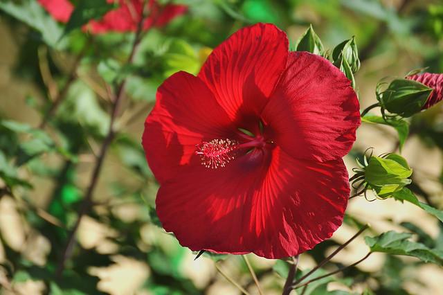 Hibiscus dans un jardin. aff