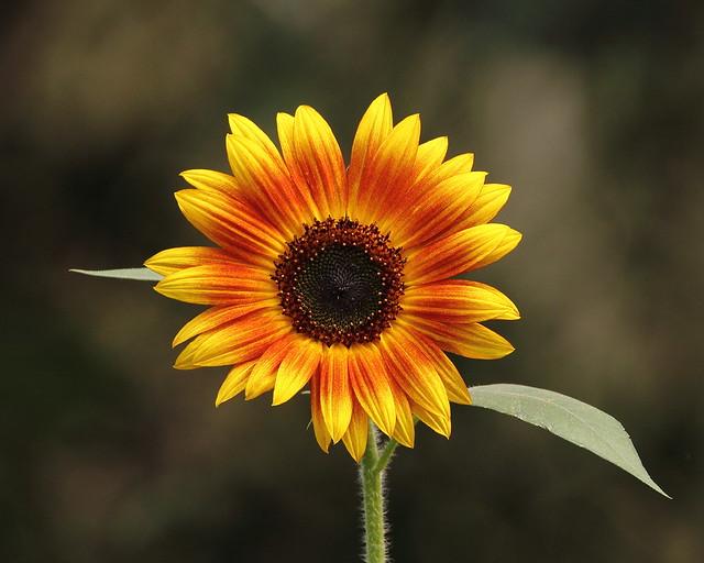 Orange and yellow sunflower blossom