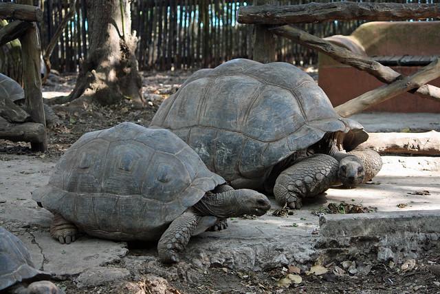 3. Giant Tortoises (Aldabrachelys gigantea), Changuu (Prison Island), Zanzibar, Tanzania