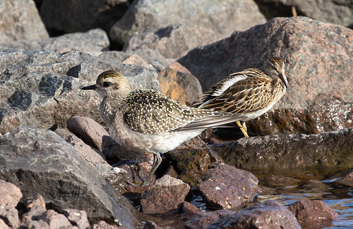 Buddies: American Golden-Plover and Pectoral Sandpiper