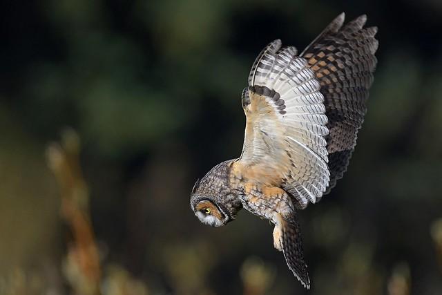 Hunting Long-eared Owl (Asio otus)