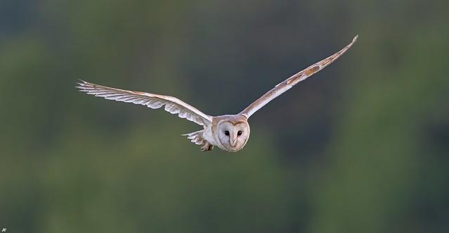 Barn Owl, Nottinghamshire.