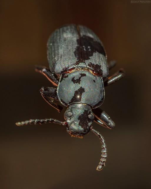 Жук Zophobas Morio. Длина тела именно этого насекомого ~ 2,6 см