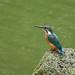 Kingfisher -202009180363.jpg