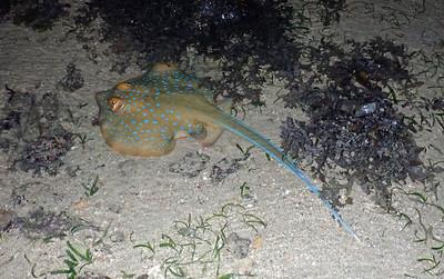 Blue spotted fantail ray (Taeniura lymma)