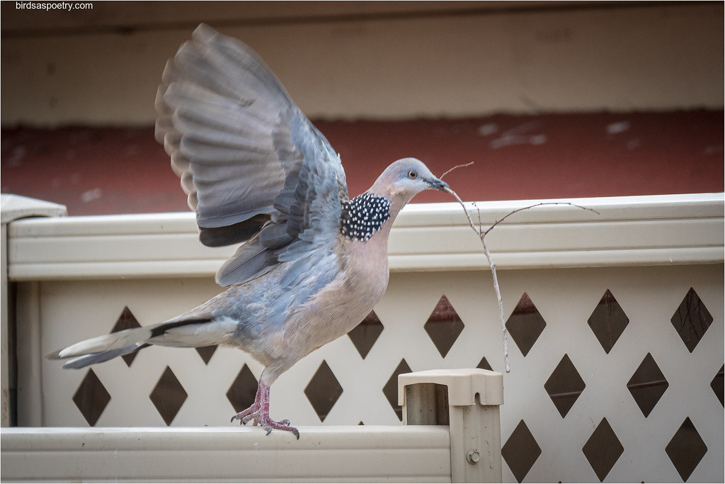 Spotted Dove: The Time of the Season