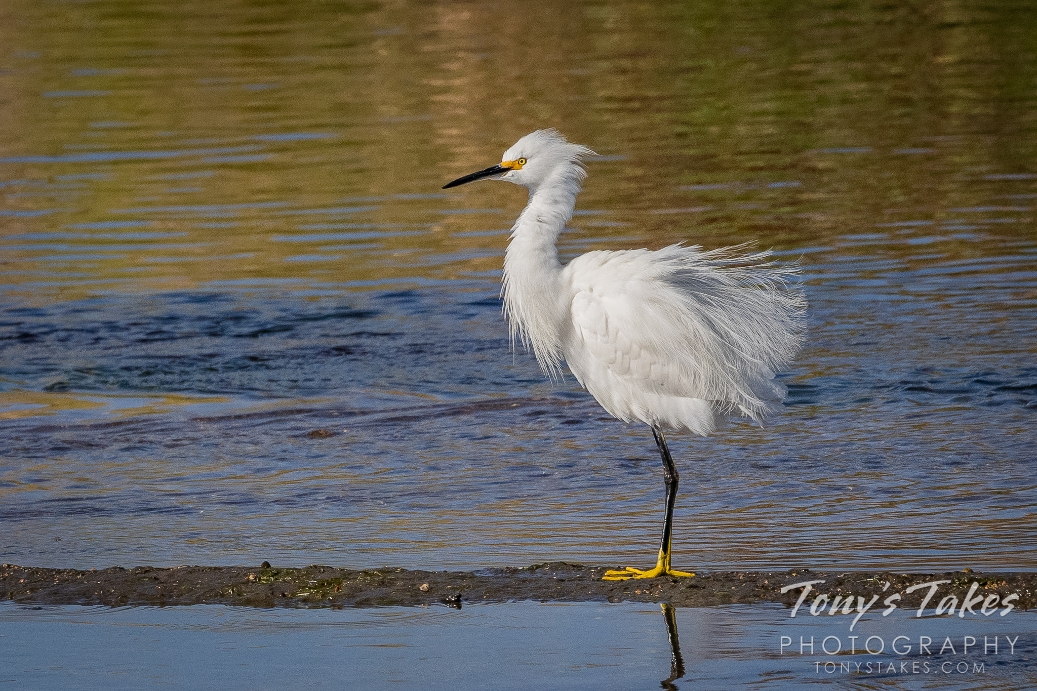 Snowy egret has a bad hair day