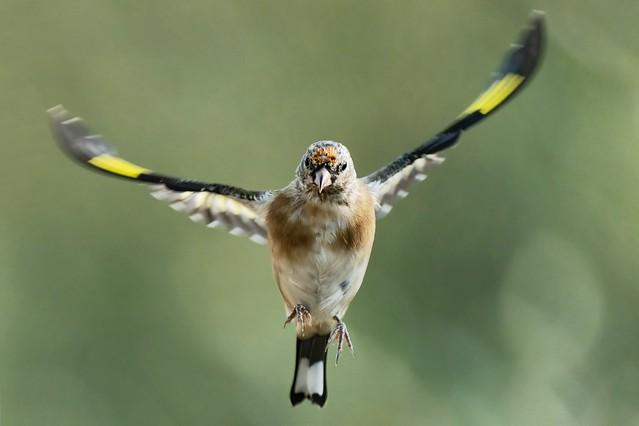 Goldfinch (URN:1005)