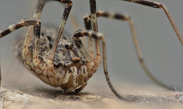 Harvestman - Opiliones Hadrobunus maculosus - Hooiwagen