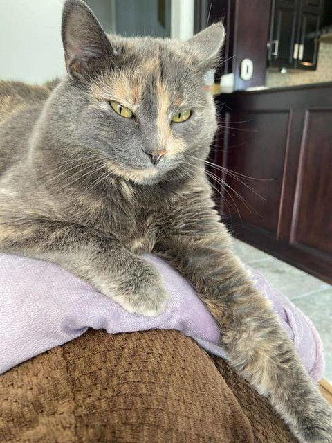 LOST DSH tortoiseshell cat in #rockyridge since Sept 15. Call (403) 819-7857 or msg Leslie if seen/found. Plz rt share watch help find Tanja. Missing in the Rocky Ridge area: Sweet, friendly, female tortoiseshell. Her name is Tanja and she has been missin