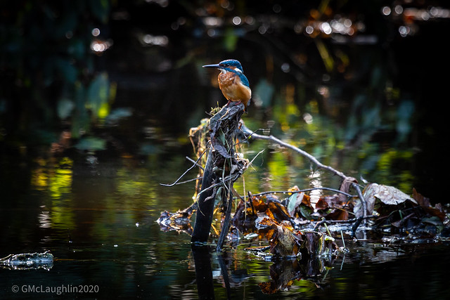 Kingfisher, Linn Park
