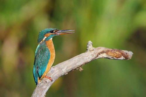 lackfordlakes wild bird wildlife nature kingfisher alcedoatthis