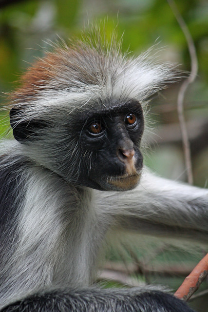 1. Zanzibar Red Colobus Monkey (Procolobus kirkii), Jozani Chwaka Bay National Park, Zanzibar, Tanzania