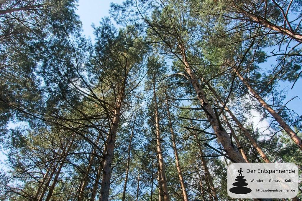 Kiefernwald auf dem Weg zum Hochstein
