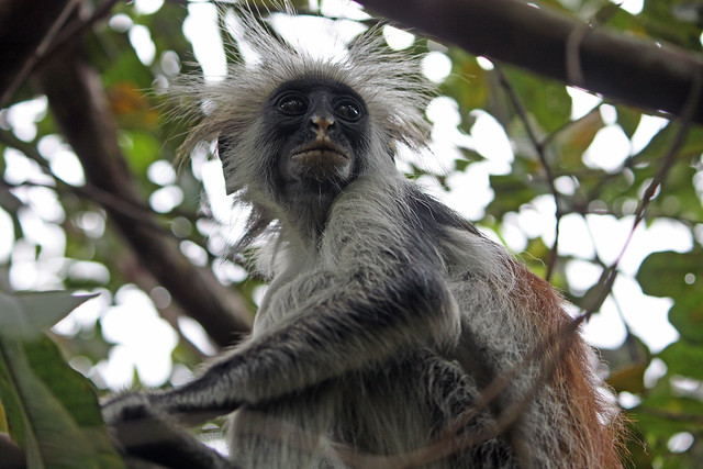 4. Zanzibar Red Colobus Monkey (Procolobus kirkii), Jozani Chwaka Bay National Park, Zanzibar, TanzaniaA