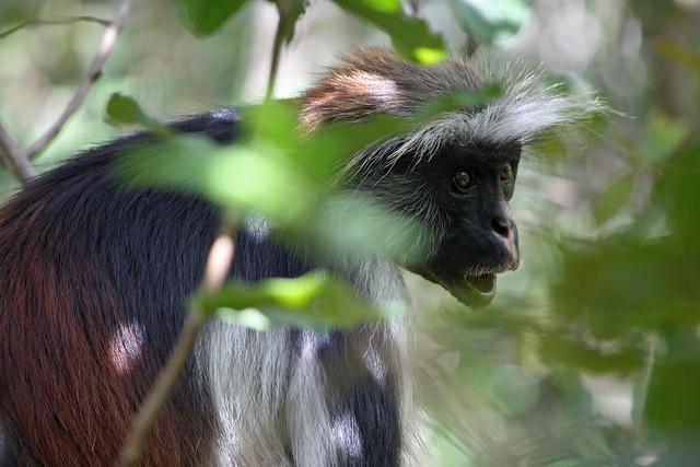 5. Zanzibar Red Colobus Monkey (Procolobus kirkii), Jozani Chwaka Bay National Park, Zanzibar, Tanzania