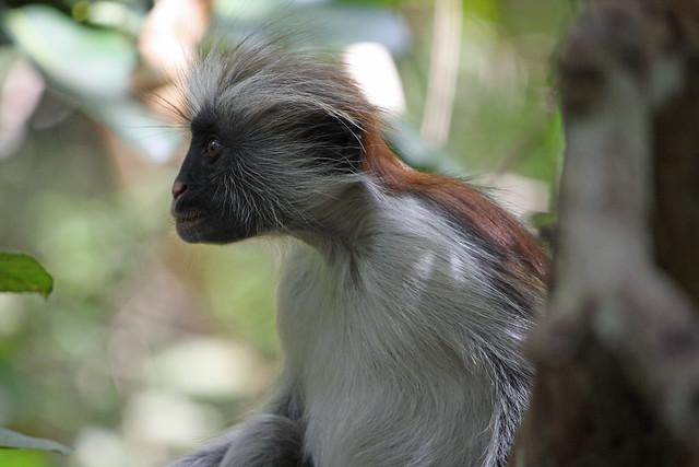 6. Zanzibar Red Colobus Monkey (Procolobus kirkii), Jozani Chwaka Bay National Park, Zanzibar, Tanzania