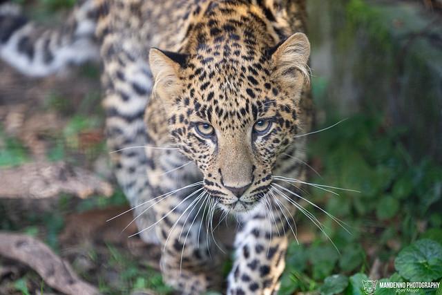 African Leopard Cub - Pakawi Park - Belgium