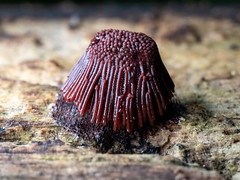 Chocolate Tube Slime - Stemonitis splendens