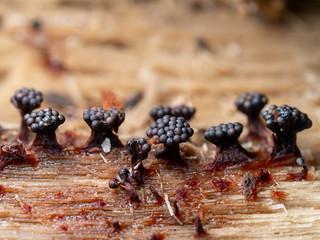 Wasp's Nest Slime Mold - Metatrichia vesparium