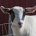 01b IMG_1330 CRaw t-up2, goat, Calgary Farmyard